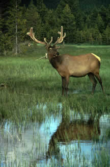 Bull Elk with velvet on his antlers Courtesy of Robert Karges, II? US Fish and Wildlife Service