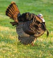 Wild Turkey Strutting.? Photo by Harold Jerrell