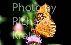 Diana Fritillary Butterfly