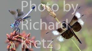 Blue Dasher and Widow Skimmer Dragonflies