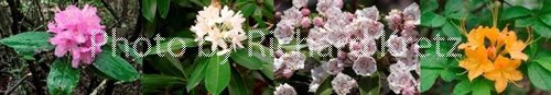 Catawba Rhododendron, Great Rhododendron, Mountain Laurel, and Flame Azalea
