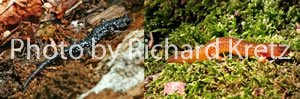 Northern Slimy Salamander and Spring Salamander